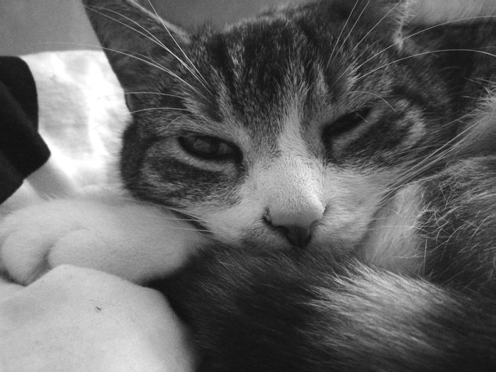Domestic Cat Domestic Animals Pets One Animal Mammal Animal Themes Cat Looking At Camera Close-up Portrait Indoors  No People Blackandwhite Black & White Black And White