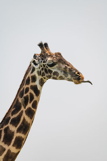 Giraffe Tanzania Africa Animal Close-up Mammal Safari Safari Animals Wildlife