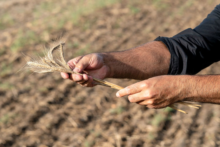 Male hands holding golden wheat ears Agriculture Cereal Field Natural Nature Wheat Wheat Field Agronomy Cereal Plant Cereal Plants Cereals Crop  Crops Cultivate Cultivated Cultivation Ear Of Corn Fields Food Grain Grains Human Hand Nature Organic Rye - Grain