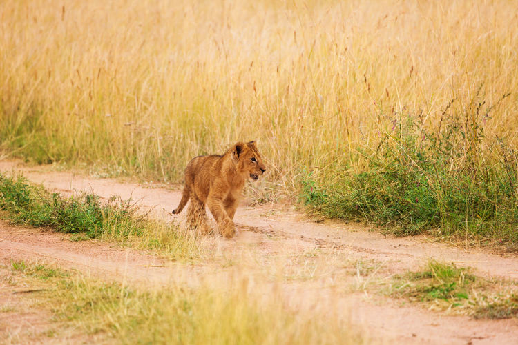 Full length of lion cub walking on dirt road