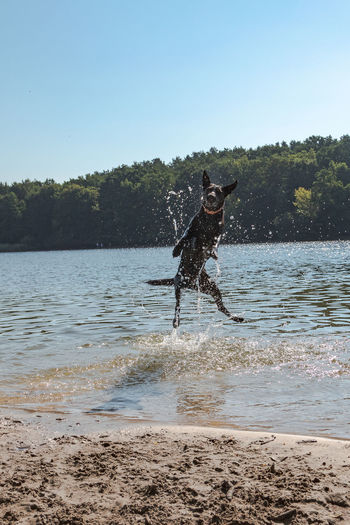 Animal Animal Themes Beach For Dogs Canine Clear Sky Day Dog Domestic Domestic Animals Jumping Dog Land Mammal Motion Nature One Animal Outdoors Pets Running Sky Splashing Vertebrate Water