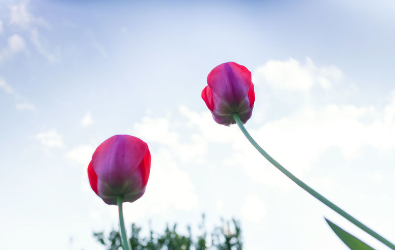 Close-up of pink tulip blooming against sky