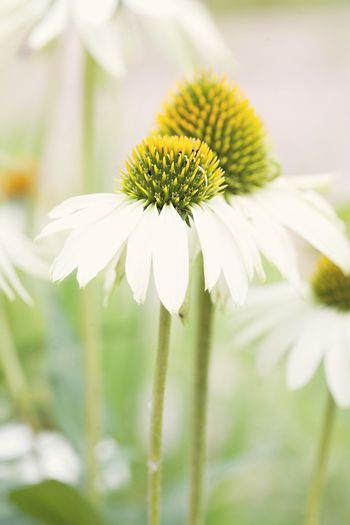 Close-Up Of White Coneflowers Growing Outdoors
