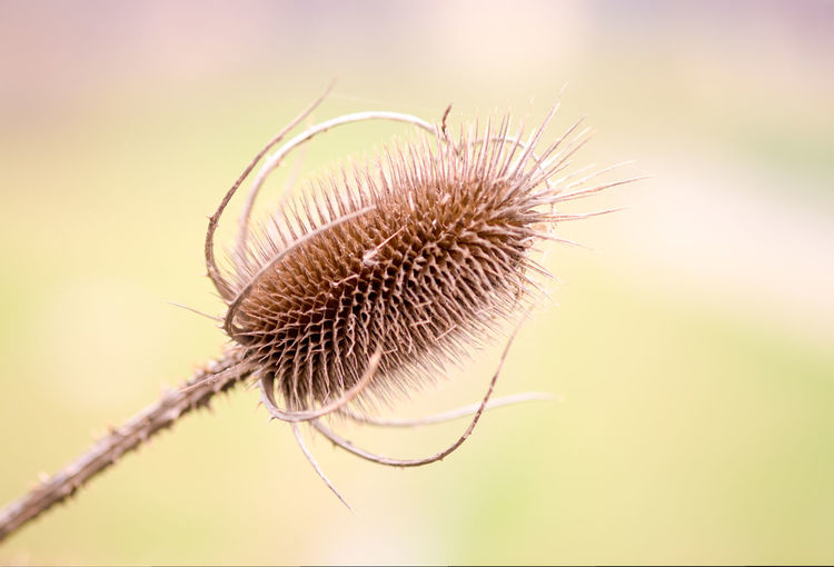 Close-Up Of Dry Thistle Outdoors