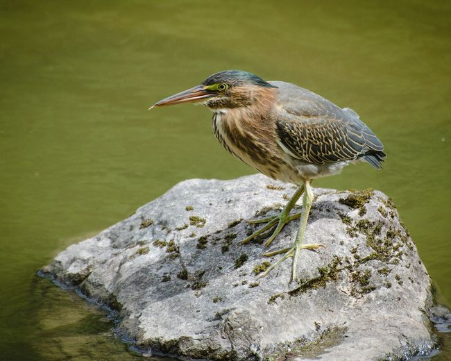 Close-up of gray heron perching on leaf