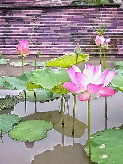 Lotus Pink Lotus Flower Pink Color Pink Lotus Flower Pink Flower Buddha Flowers