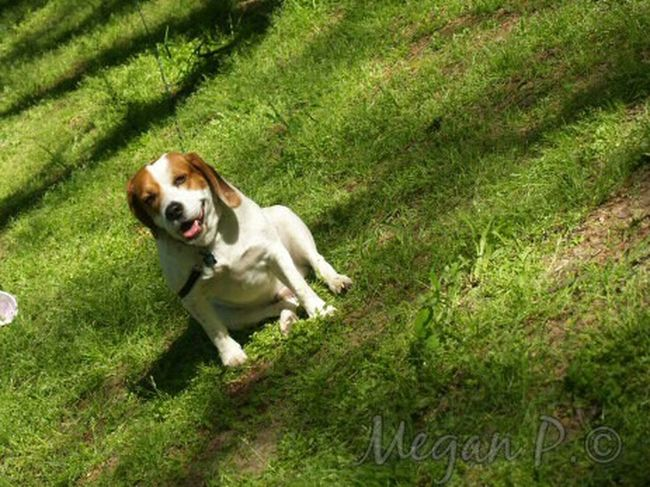 My happy beagle! Playful Dogs In The Park Beaglelife Beaglelovers Puppydog Tired Pup