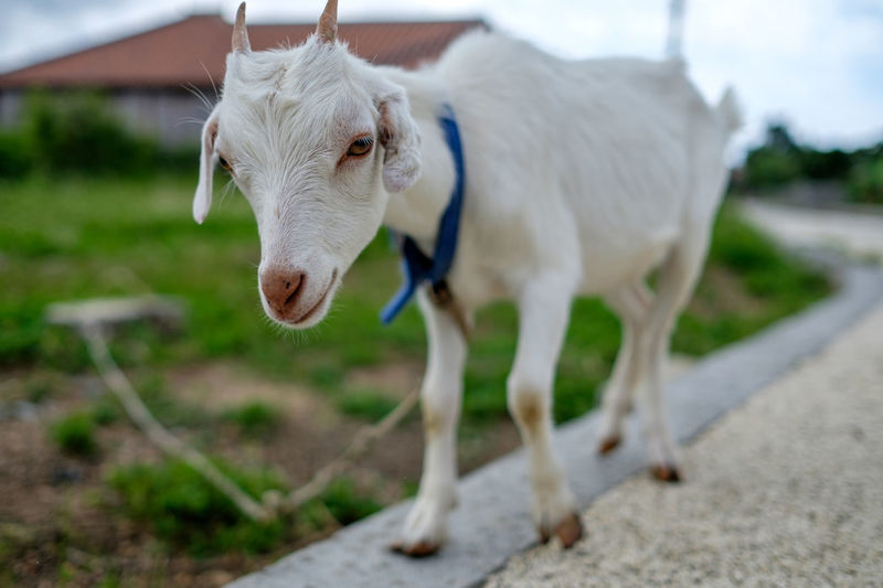 Portrait of goat standing on street