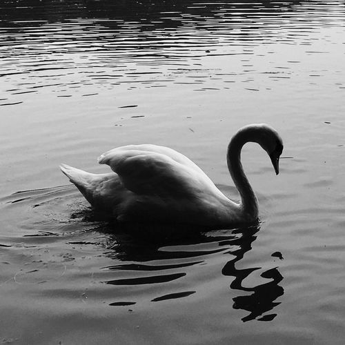 Water Bird Animals In The Wild Wildlife Animal Themes Swan Lake Reflection Nature Tranquility Water Surface Beauty In Nature Contrast Reflections In The Water Light And Shadow Solitude Black & White For My Friends That Connect From My Point Of View Tenderness And Warmth... Tranquility Beauty In Nature Shapes And Textures Outdoors Freshness