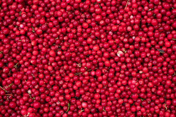 Close-up of large pile of handpicked cowberries