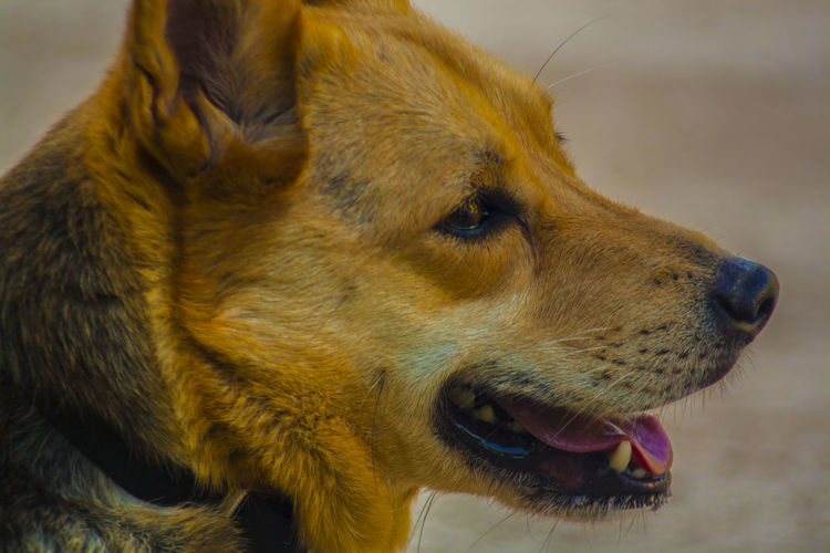 meticcio Animal Animal Body Part Animal Head  Animal Mouth Animal Themes Canine Close-up Dog Domestic Domestic Animals Focus On Foreground Looking Looking Away Mammal Mouth Mouth Open No People One Animal Pets Profile View Side View Snout Vertebrate Whisker