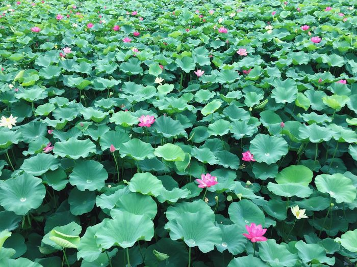 Growth Plant Part Leaf Plant Green Color Beauty In Nature Freshness Nature Flower Day Flowering Plant High Angle View Full Frame No People