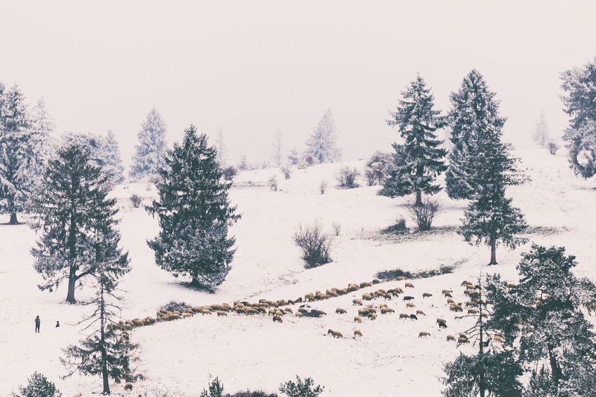 Animal Animal Photography Animal Themes Cold Temperature Coniferous Tree EyeEm Gallery EyeEm Nature Lover Forest Landscape Mountain Nature Nature Nature Photography Nature_collection Naturelovers People Pine Tree Sheep Sheeps Sheep🐑 Sheperd Snow Tree Winter Winter