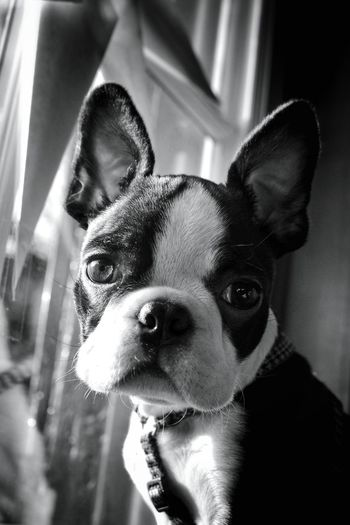 Domestic Animals Pets Animal Themes Dog One Animal Looking At Camera Portrait Close-up No People Boston Terrier Monochrome Photograhy Blackandwhite Photography EyeEm Black&white! Monochrome _ Collection Taking Photos Black & White Mypointofview Light And Shadow Dogportrait Blackandwhite Portrait Boston Terriers Boston Terrier American Gentleman. Boston Terrier, Cute, Pet, Best Friend Pet Portraits