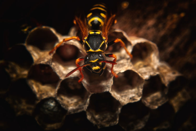 Close-Up Of Wasp On Nest