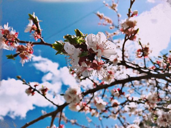 Flower Fragility Blossom Cherry Blossom Springtime Beauty In Nature Tree Growth Nature Apple Blossom Freshness Cherry Tree Apple Tree Shushannaagapi Sunlight Spring Outdoors Mobilephotography Iphonephotography Day White Color Petal Shushannaagapiphoto EyeEmNewHere Art Is Everywhere