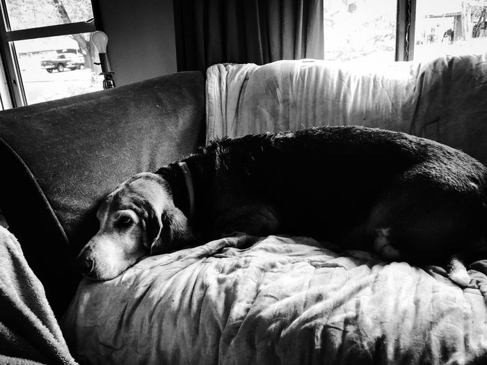 Cooper is watching tv Check This Out Hello World Relaxing Hi! Enjoying Life Iphonephotography Myhandsomeboy Relaxedand Happy Bassetmoments Ilovebassethounds Posing For The Camera MySweetheart Blackandwhite Photography Blackandwhiteportraits Bassetworld Myseniorhound