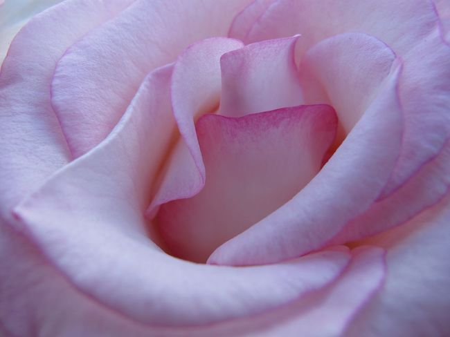 Backgrounds Beauty In Nature Close-up Detail Extreme Close-up Flower Flower Head Fragility Freshness Full Frame Growth Macro Natural Pattern Nature Petal Pink Pink Color R.tullis Rosé Rose - Flower Single Flower