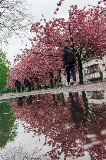 Cherry blossom tree by canal