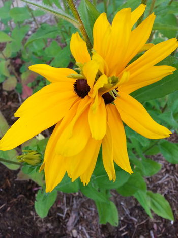 Black-eyed Susans Flower Connection Beautiful Nature Outdoors Color Garden Yellow Nature Growing Freshness Structure Twins Gardening Flowers,Plants & Garden Garden Photography Flower Collection Flower Photography