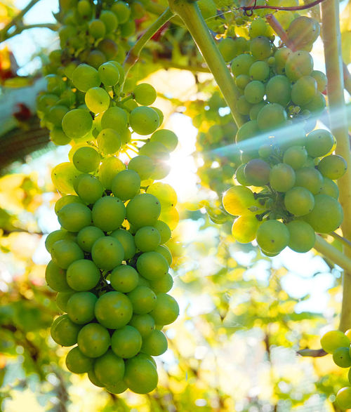 Green Color Healthy Eating Food And Drink Growth Fruit Food Plant Grape Nature Freshness Day No People Vineyard Wellbeing Beauty In Nature Tree Bunch Agriculture Close-up Vine Outdoors Winemaking Plantation Grapes 🍇 Grapes On A Vine