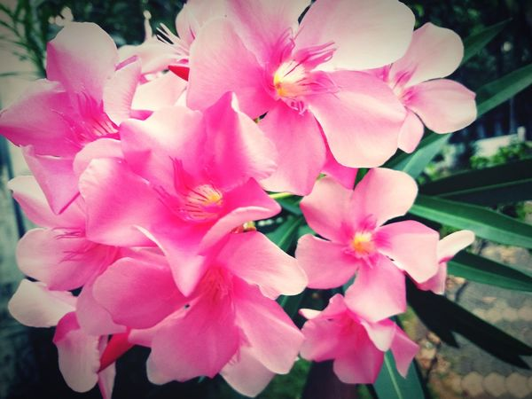 Rose orchids Flower Head Flower Pink Color Petal Close-up Plant Blooming Rhododendron Apple Blossom Fruit Tree Orchard Twig Stamen Botany Pale Pink Day Lily Plant Life In Bloom Blossom Wild Rose Pistil