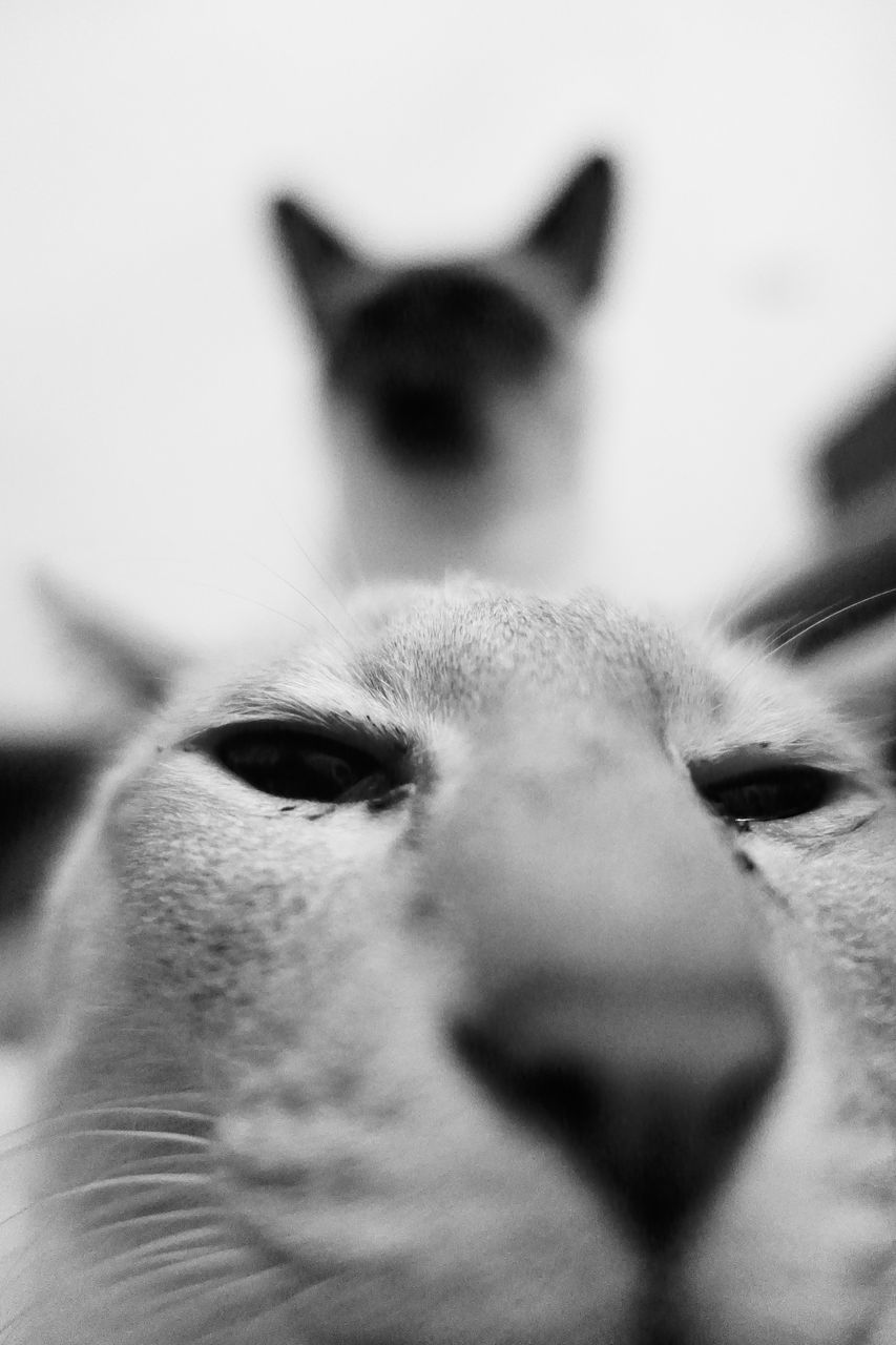animal themes, domestic animals, one animal, mammal, animal head, pets, close-up, no people, animal nose, selective focus, indoors, domestic cat, looking at camera, portrait, feline, day
