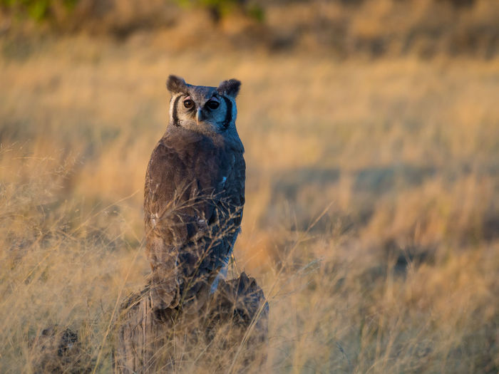 Portrait Of African Owl Sitting In High Grass Looking At Camera, Moremi National Park, Botswana