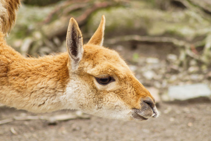 deer Mammal Animal Themes Animal One Animal Animals In The Wild Animal Wildlife Vertebrate Day No People Land Brown Animal Head  Animal Body Part Nature Close-up Focus On Foreground Deer Side View Relaxation Domestic Animals Herbivorous Fawn Profile View