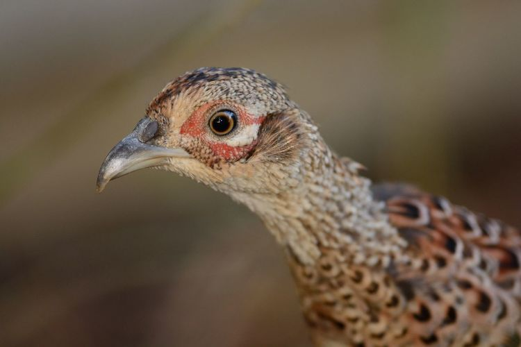 Close-up of pheasant