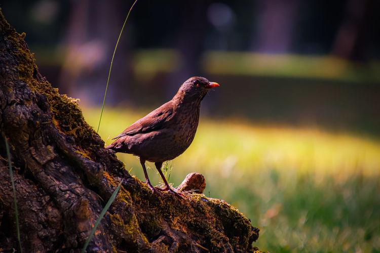 Bird on top of olive tree trunk - pássaro em cima de tronco de oliveira .
