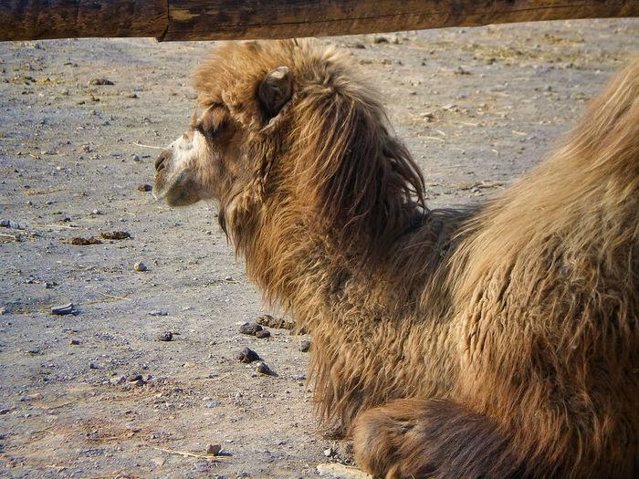 Bactrian camel relaxing on field