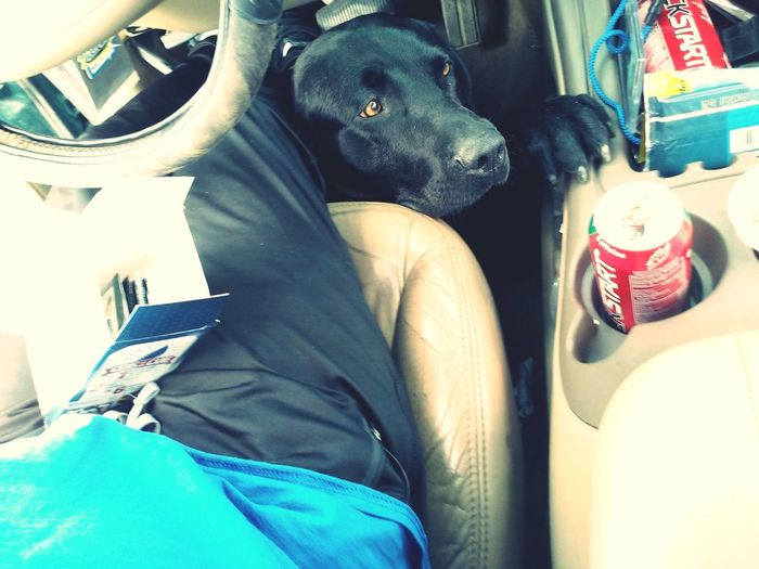My poor boy wants to come with papa :) My Dogs Are Cooler Than Your Kids Black Lab I❤dogs My Crazy Dog <3 Begging Puppy Eyes