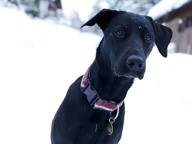 Black Labrador Winter Portrait Outdoors Focus On Foreground Snow No People