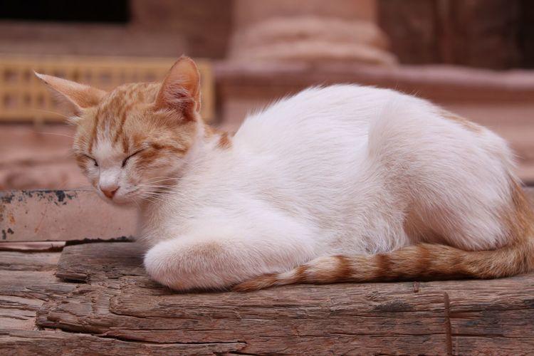 Ancient Ancient History Archaeology Jordan Kings Highway Ancient Architecture Ancient City Ancient Civilization Ancient Monument Ancient Ruins Archaeological Archaeological Sites Close-up Domestic Animals Domestic Cat Feline Ginger Cat Mammal Nabatean One Animal Pets Rose City Sleeping Sleeping Cat Sleepy