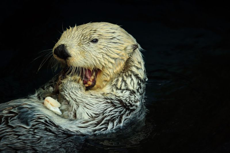 Close-up of sea otter swimming in water on black background