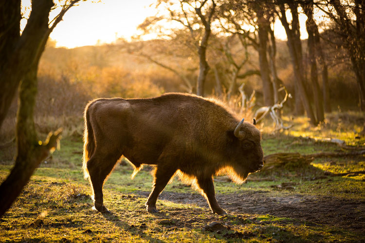Side view of bison in forest