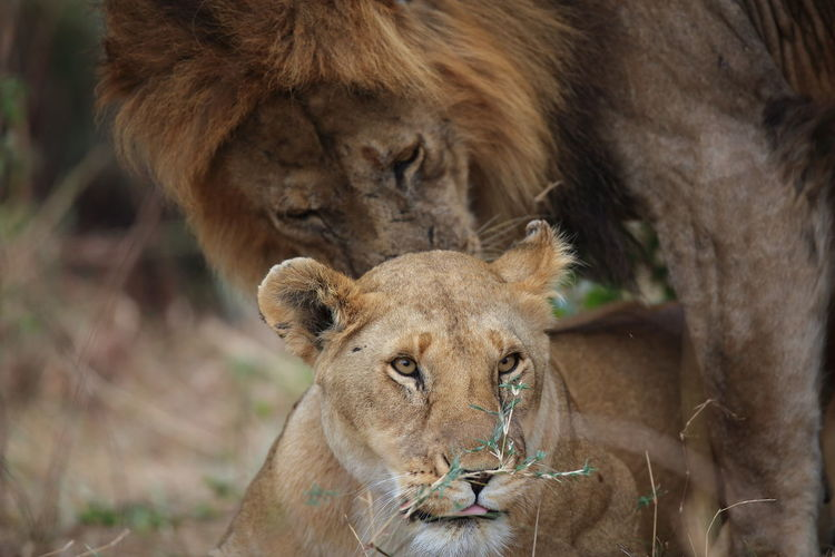 Africa African Animal Head  Animal Instincts Animal Themes In Love Lion Head Lioness And Lion Lions Maasai Mara National Parks Kenya Safari Animals Sensuality Photo Tender Moments Tenderness Wildlife BYOPaper! BYOpaper An Eye For Travel