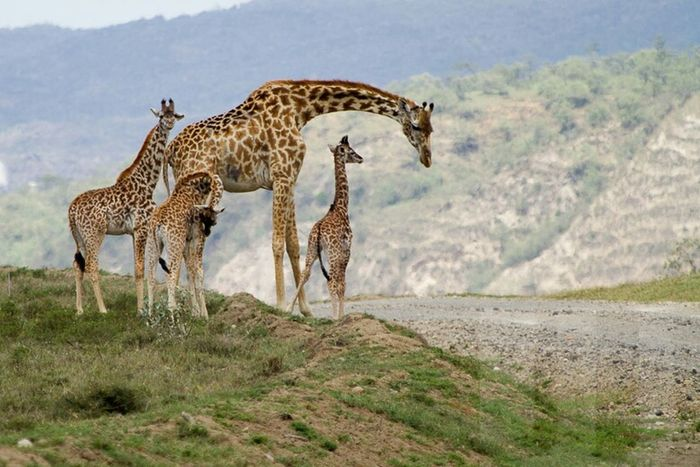 Giraffe Animals In The Wild Animal Wildlife Safari Animals Animal Nature Outdoors Beauty In Nature Young Animal Landscape Travel Destinations Mammal No People Animal Themes Hell's Gate Kenya National Park Africa