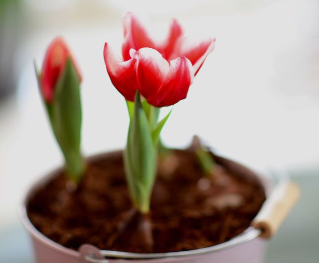 Close-Up Of Red Tulip In Bowl