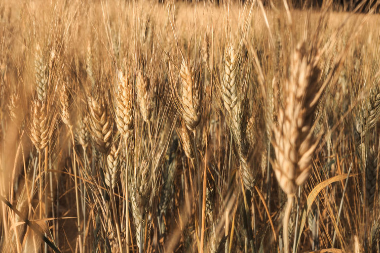 Agriculture Cereal Plant Crop  Rural Scene Field Farm Land Plant Wheat Landscape Growth Nature No People Close-up Day Backgrounds Beauty In Nature Brown Full Frame Sunlight Outdoors Agricultural Field Healthy Eating Lifestyle Nature_collection