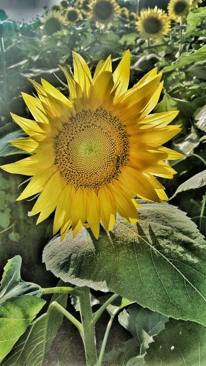 flower, yellow, fragility, petal, sunflower, nature, flower head, freshness, growth, plant, beauty in nature, close-up, leaf, outdoors, no people, day, blooming