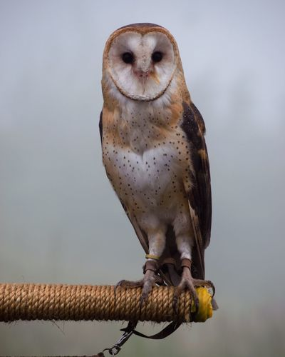 Portrait of barn owl perching on rope covered rod against sky