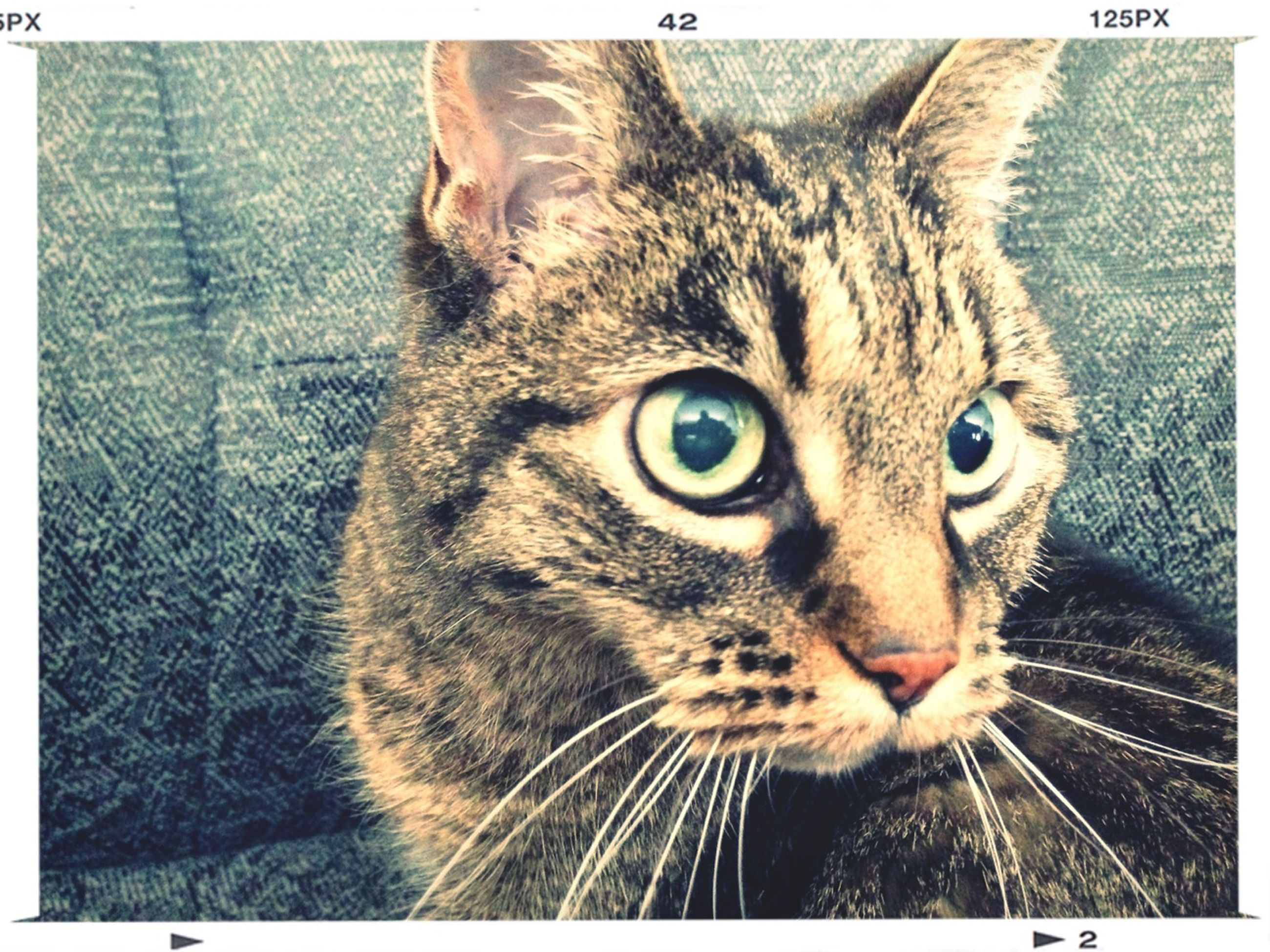 domestic cat, cat, pets, one animal, feline, animal themes, domestic animals, whisker, transfer print, mammal, portrait, looking at camera, auto post production filter, indoors, close-up, animal head, staring, animal eye, alertness, front view