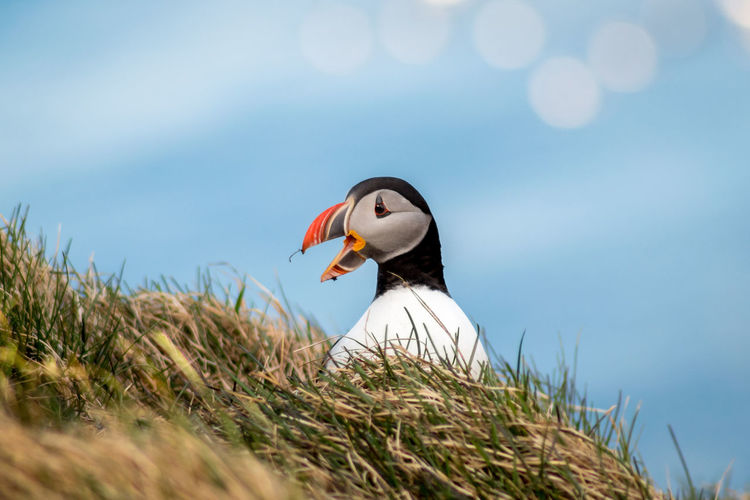 Close-up of puffin on grass