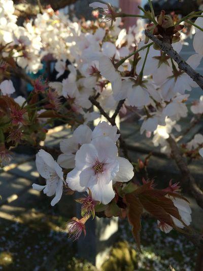 京都 仁和寺 御室桜