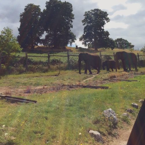 🐘🐘🐘 Elephant Family Animalfamily Animals Safari Safari Park Animalsofinstagram Elephants Three Onetwothree Triplets Mammal Grass Zoology EyeEmNewHere EyeEm Diversity Break The Mold