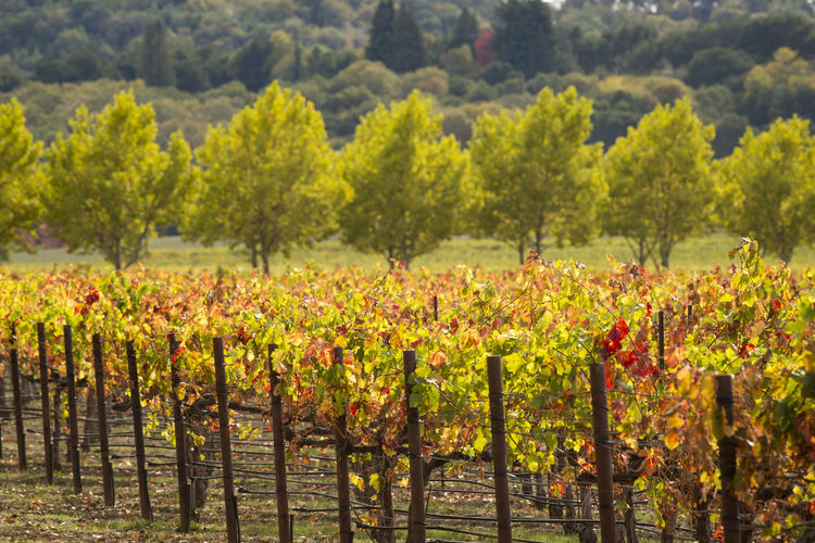 Autumn vineyard scene Plant Agriculture Vineyard Rural Scene Nature Landscape Field Growth Crop  Winemaking Environment Land Farm Scenics - Nature In A Row Tree Beauty In Nature Outdoors No People Autumn Seasonal