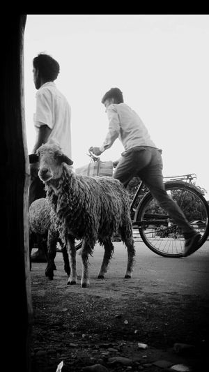 Adapted To The City Blackandwhite Photography Black & White My City My Collection Life's Simple Pleasures... Learn & Shoot: Simplicity Simple Things In Life Outdoors Photograpghy  Road Side View Sheepworld Life In A City