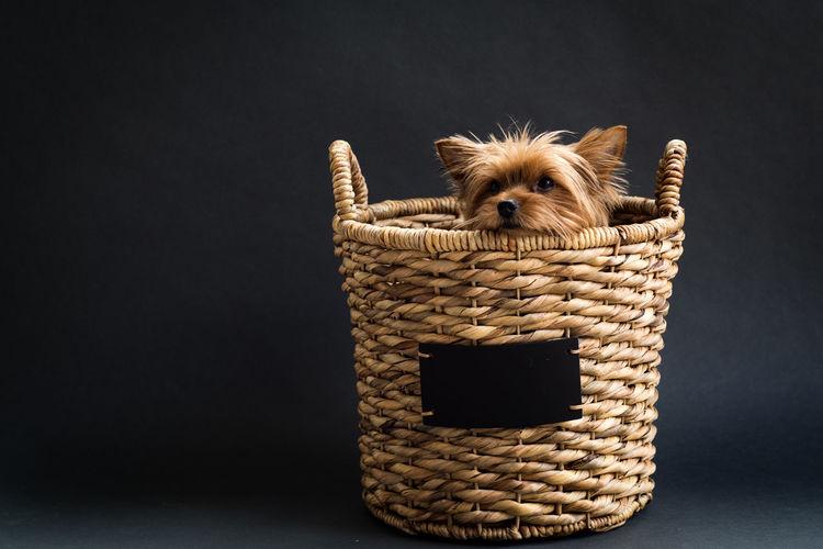 Yorkshire Terrier In Basket Against Black Background